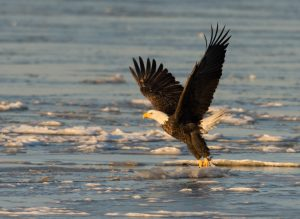Bald Eagle water